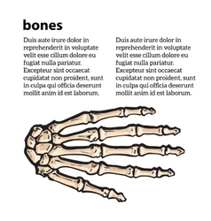Medically accurate of the hand bones vector