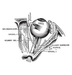 Nerves of the eye vintage vector