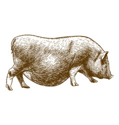 engraving antique of hog vector image vector image