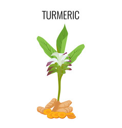 Turmeric ayurvedic herb with rhizomes isolated on vector