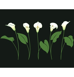 Calla in row vector