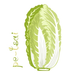 Chinese cabbage vector