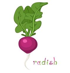 Radish vector