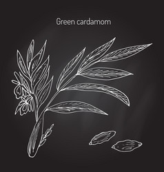 Aromatic plant green or true cardamom vector