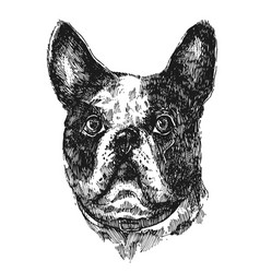 hand drawn bulldog sketch vector image