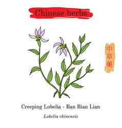 Medicinal herbs of china lobelia chinensis vector