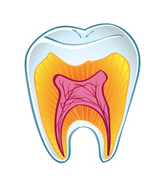 teeth on section vector image