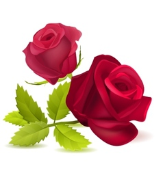 Realistic red rose on white vector image