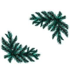 Two realistic branch blue spruce placed in the vector