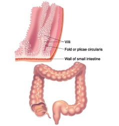 Large intestine and detail vector