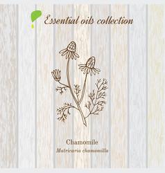 Chamomile essential oil label aromatic plant vector