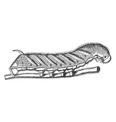 Tobacco worm vintage vector