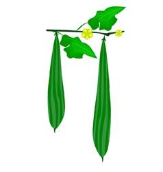 Fresh green ridged gorud on a plant vector