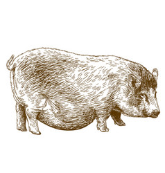 engraving of pig vector image