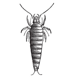 First larva of sitaris humeralis vintage vector