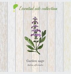 Sage essential oil label aromatic plant vector