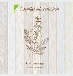Sage essential oil label aromatic plant vector