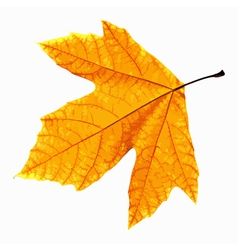 Yellow Leaf Isolated vector image