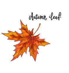 autumn yellow orange maple leaf isolated on white vector image vector image