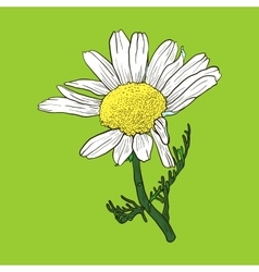 Hand drawn chamomile vector