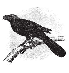 Groove billed ani vintage vector
