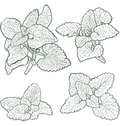 Hand drawn mint plants and leaves vector
