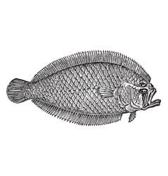 Lefteye flounder vintage vector