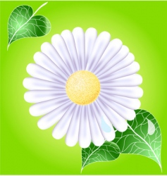 White daisy vector