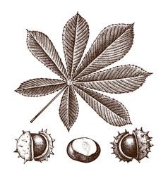 chestnut botanical vector image vector image