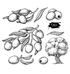 Olive set hand drawn of vector