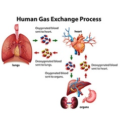 Human gas exchange process diagram vector