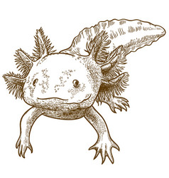 engraving antique of axolotl vector image vector image