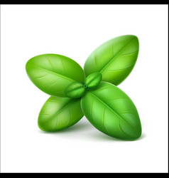 Green basil leaves close up isolated vector