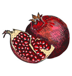 Pomegranate fruit berry organic nutrition vector
