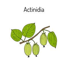 actinidia kolomikta - medicinal plant vector image
