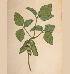 Soy twig engraving style color drawing on vintage vector