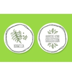 Ayurvedic herb - product label wit boswellia vector