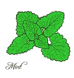 Hand drawn mint plant with leaves vector