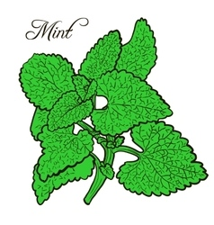 hand drawn mint plant with leaves vector image