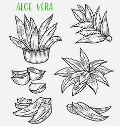 Aloe vera plant sketch skincare cosmetic plant vector