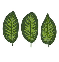 dieffenbachia tropical leaf set vector image
