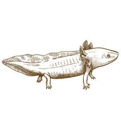 Engraving antique of axolotl salamander vector