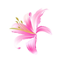 Spring flower daylily pink lily vector