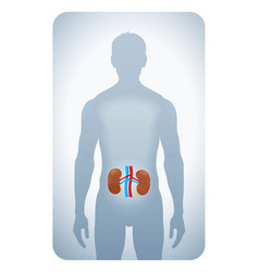 kidneys highlighted vector image