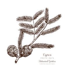 Vintage cypress vector