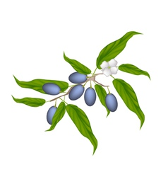 Delicious Fresh Chinese Olives on A Branch vector image