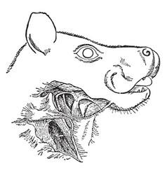 Head and neck of singing fruit bat vintage vector