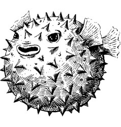 blowfish vector image