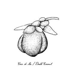 Hand drawn of coco de mer or double coconut fruits vector