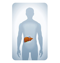 liver highlighted vector image vector image
